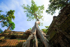 Racine d'arbre dans le temple de Prohm de ventres Photo stock