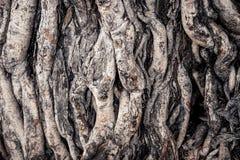 Racine d'arbre de Bodhi Image libre de droits