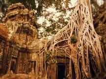 Racine d'arbre de soie et de coton sur le temple Photo stock