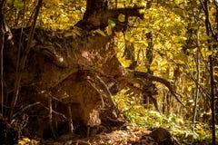 Racine d'un arbre tombé dans la forêt photo libre de droits
