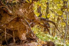 Racine d'un arbre tombé dans la forêt photo stock