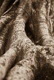Racine de banian Photos libres de droits