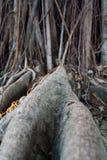 Racine de banian Images libres de droits