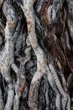 Racine de banian Photographie stock