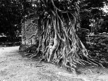 Racine de Bouddha images stock