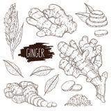 Racine de gingembre, morceaux de tranches, poudre, feuilles et fleur tirés par la main illustration stock