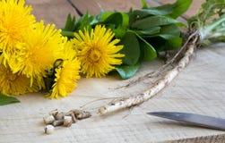 Racine de pissenlit, avec des fleurs de pissenlit et des feuilles Photos libres de droits