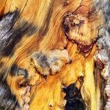 Racine nouée d'arbre le long des traînées de bâti Charleston, Nevada photos libres de droits