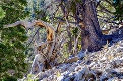 Racine nouée d'arbre le long des traînées de bâti Charleston, Nevada photographie stock