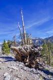 Racine nouée d'arbre le long des traînées de bâti Charleston, Nevada photo stock