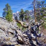 Racine nouée d'arbre le long des traînées de bâti Charleston, Nevada image libre de droits