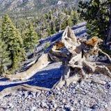 Racine nouée d'arbre le long des traînées de bâti Charleston, Nevada photos stock
