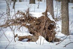 Racine peu commune d'un arbre dans la forêt d'hiver photos stock