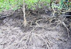 Racines aériennes - racines adventices - des arbres rouges de palétuvier - île de Baratang, Andaman Nicobar, Inde photographie stock libre de droits