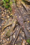 Racines audacieuses d'arbre et feuilles d'automne tombées Photos libres de droits