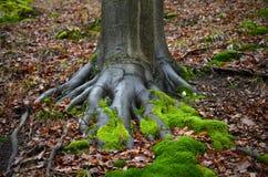 Racines avec de la mousse en automne Images libres de droits