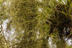 Racines bouclées d'orchidée dans l'habitat naturel photos libres de droits
