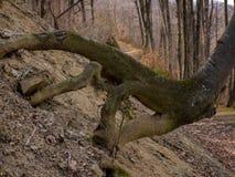 Racines couvertes de la mousse dans la forêt photographie stock