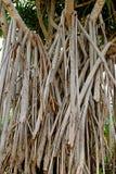 Racines d'appui vertical de plan rapproché ancrant l'arbre du screwpine à la terre photographie stock
