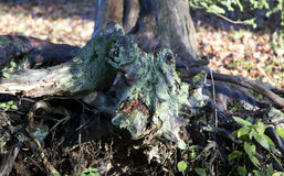 Racines d'arbre Photo libre de droits