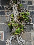 Racines d'arbre dans le mur Photos stock