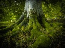 Racines d'arbre dans une forêt Photographie stock libre de droits