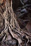Racines d'arbre de cauchemar Photographie stock