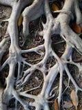 Racines d'arbre de ficus l'espagne photo stock