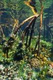 Racines d'arbre de palétuvier sous-marines avec l'espèce marine Image stock