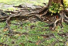 Racines d'arbre en automne Image libre de droits