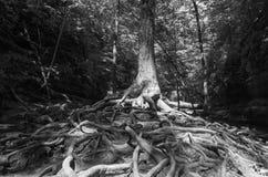 Racines d'arbre en noir et blanc Image stock