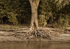 Racines d'arbre exposées sur le rivage du fleuve Mississippi Images libres de droits
