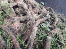 Racines d'arbre le long des cascades Image stock