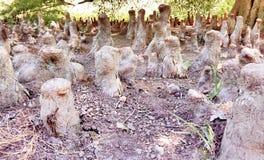 Racines d'arbre ressemblant au manoir boisé de Meerkat Images stock