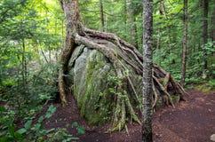 Racines d'arbre s'élevant au-dessus d'un grand plus audacieux Images stock