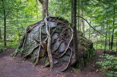 Racines d'arbre s'élevant au-dessus d'une roche Photo libre de droits