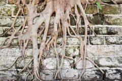 Racines d'arbre s'élevant en bas de tous Images libres de droits