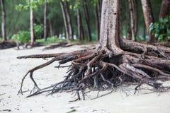 Racines d'arbre se tenant mortes parce qu'érodez par l'eau de mer photos stock