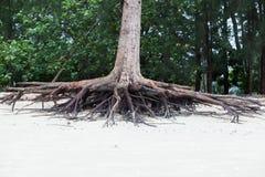 Racines d'arbre se tenant mortes parce qu'érodez par l'eau de mer photos libres de droits