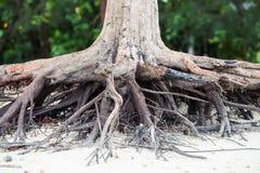Racines d'arbre se tenant mortes parce qu'érodez par l'eau de mer sur la plage photographie stock
