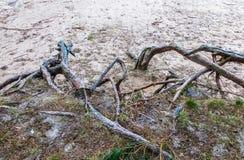 Racines d'arbre sur les banques de la rivière Lielupe en Lettonie images stock