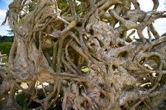 Racines d'arbre tombé Image libre de droits