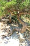 Racines d'un arbre sur une roche photo libre de droits