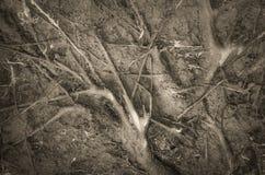Racines d'un arbre tombé Photos stock