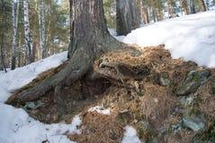Racines d'un pin à une pente d'une montagne Photographie stock libre de droits
