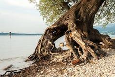 Racines d'un saule au rivage du lac Bodensee photos libres de droits