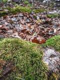 Racines dans la mousse, feuilles tombées dans la forêt images stock