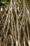 Racines de banian Photos libres de droits