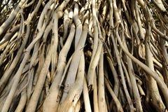 Racines de banian Photos stock