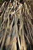 Racines de banian Image stock
